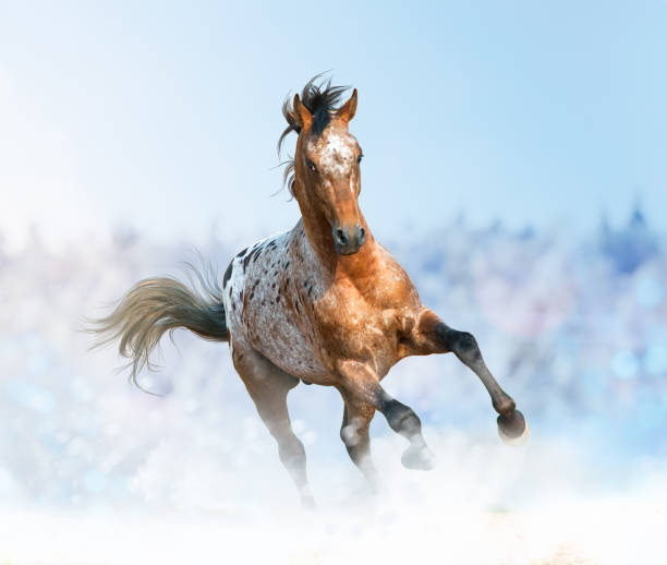 Appaloosa stallion running gallop in the winter, Beautiful appaloosa stallion running gallop in the winter, appaloosa stock pictures, royalty-free photos & images