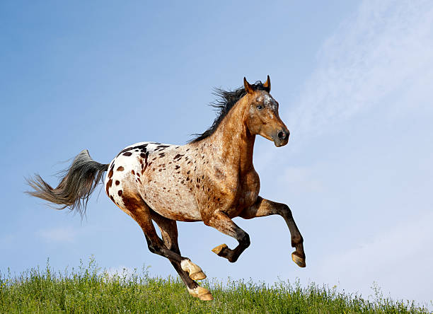 Appaloosa stallion running through the pasture appaloosa stallion running in field appaloosa stock pictures, royalty-free photos & images