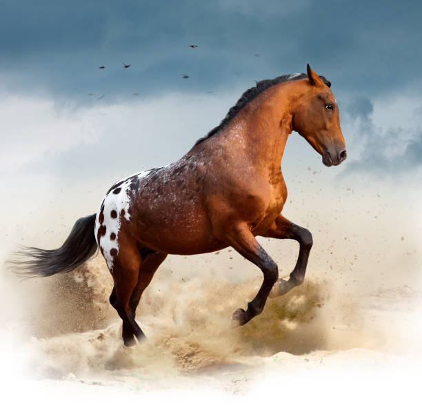 appaloosa wild horse in desert appaloosa wild horse in desert appaloosa stock pictures, royalty-free photos & images