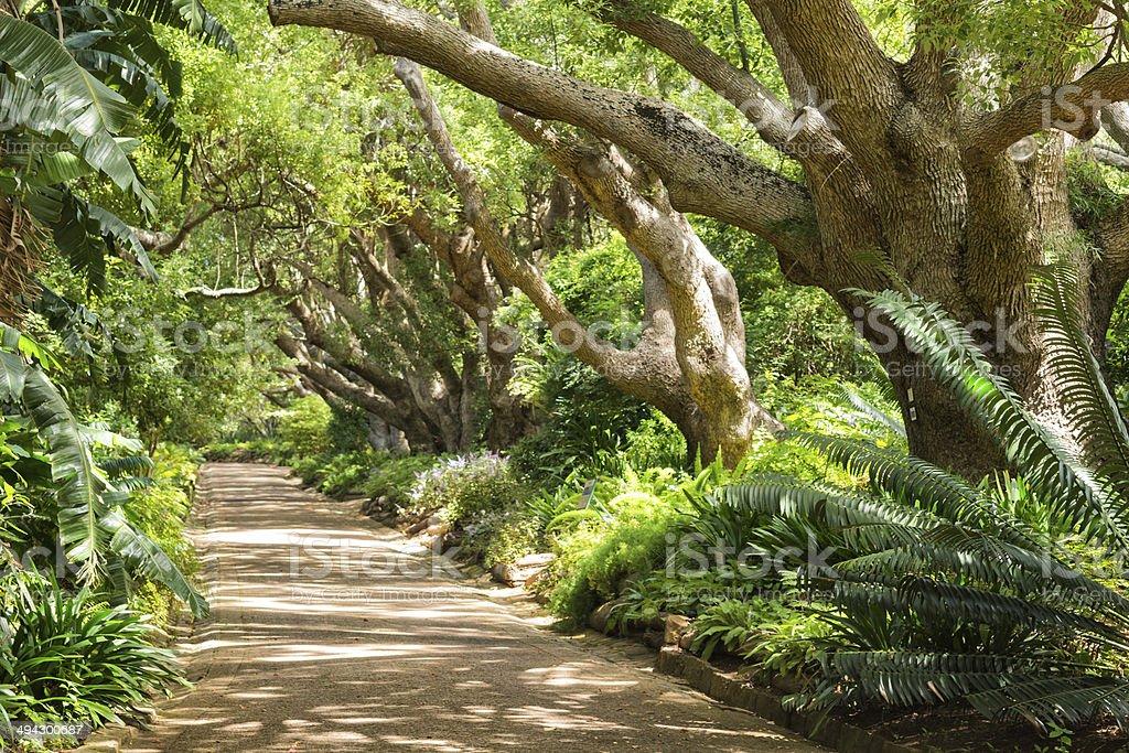 Appealing footpath under Camphor trees at Kirstenbosch Gardens stock photo
