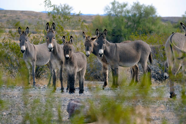 Appealing Wild Animals Burros in the Wild mojave desert stock pictures, royalty-free photos & images