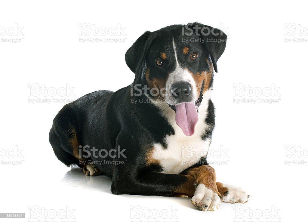 Appenzeller Sennenhund - Photo