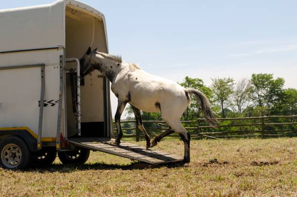 Applaloosa horse loading Appaloosa horse loading into a horse box in a field appaloosa stock pictures, royalty-free photos & images