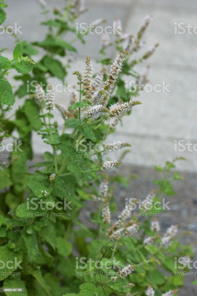 Apple mint - Royalty-free Agricultura Foto de stock