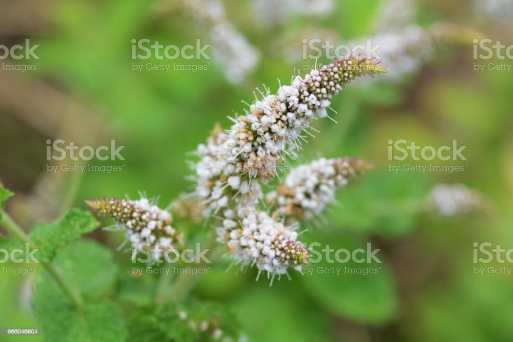 Apple mint - Royalty-free Agriculture Stock Photo