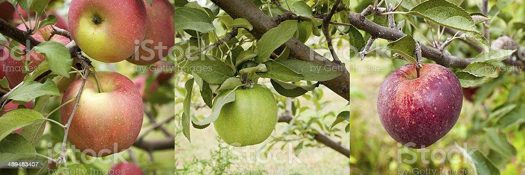 Apple Assortment Panarama stock photo