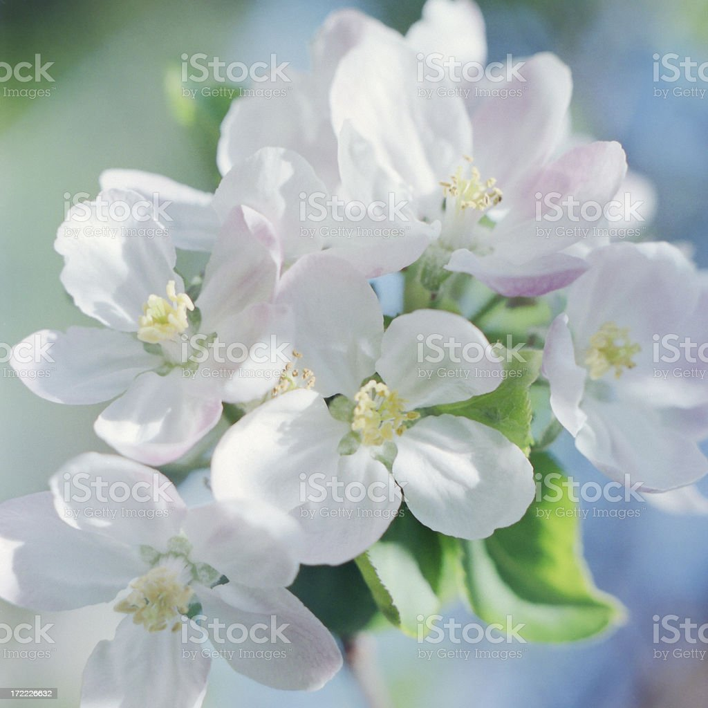 Apple Bloom in Spring royalty-free stock photo
