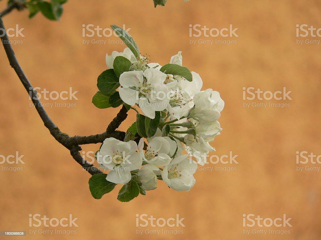 Apple Bloom royalty-free stock photo