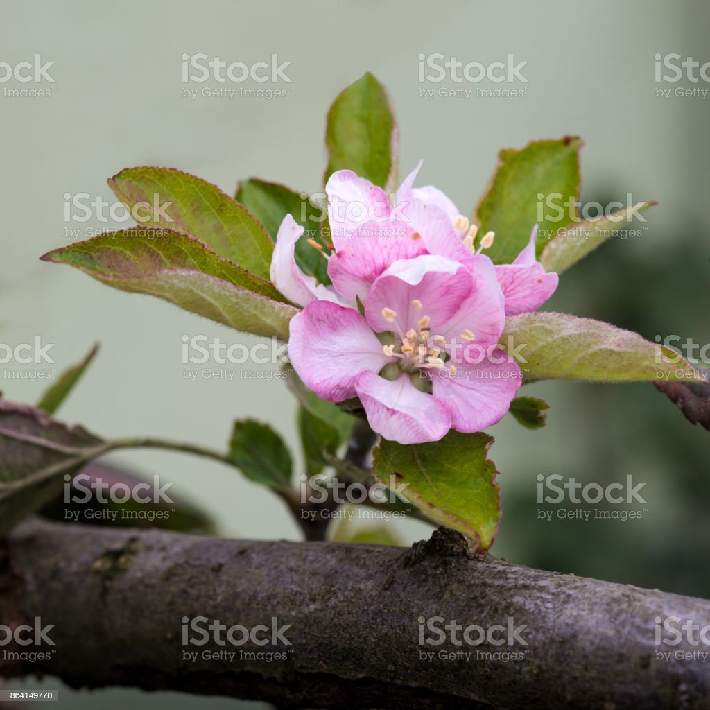 Apple blossom and leaves royalty-free stock photo