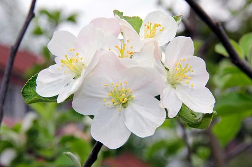 Apple blossom branch in springtime