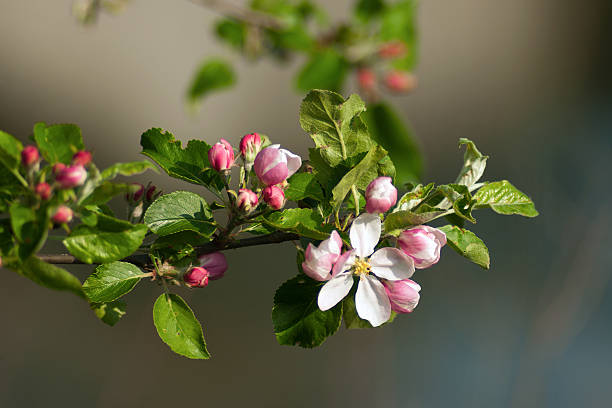 Apple blossom branch​​​ foto