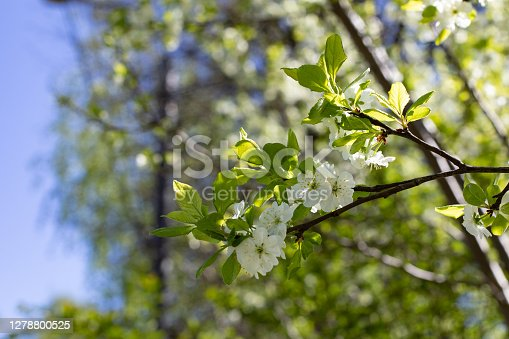 Apple blossom branch with white flowers in early spring. Seasonal flowering of the orchard