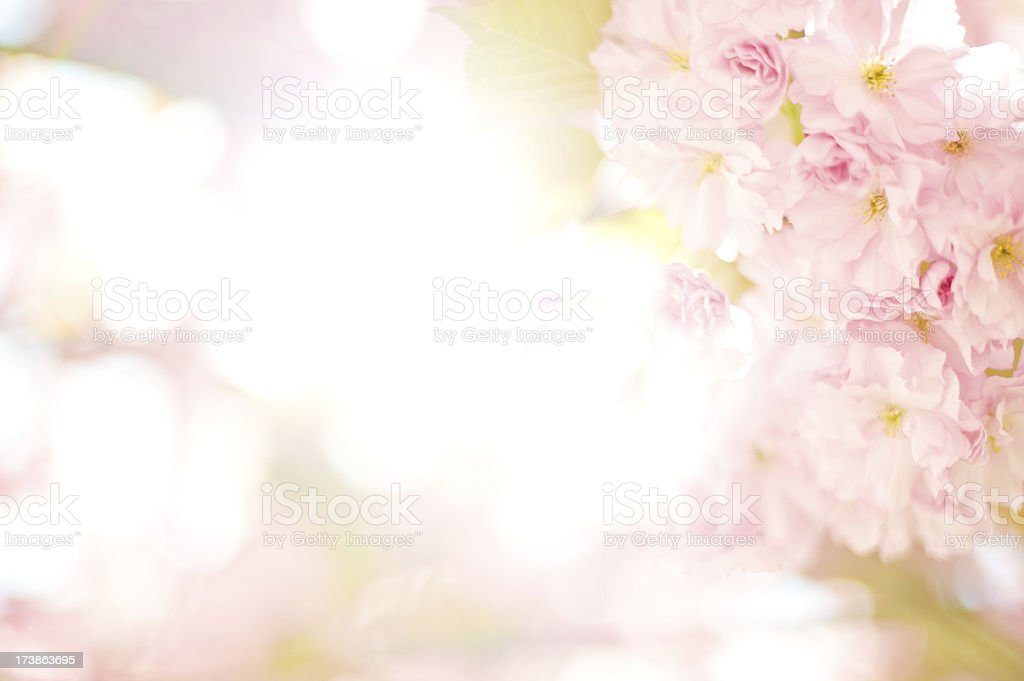 Apple blossom High key royalty-free stock photo