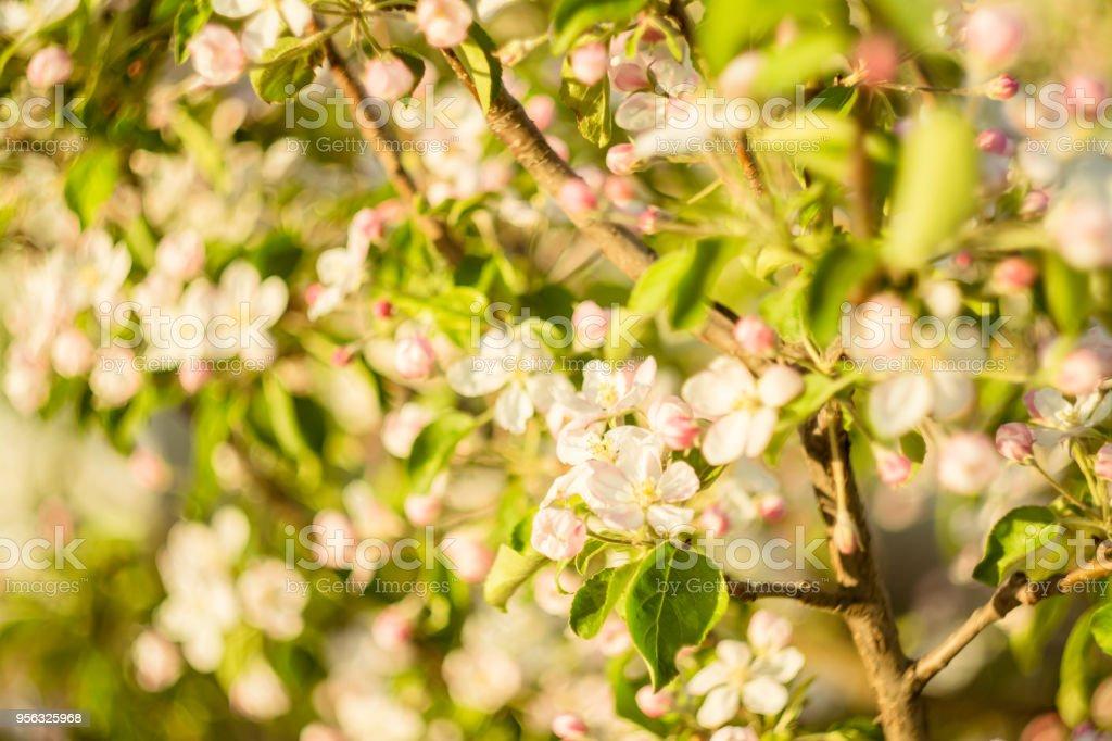 Apple, Fruit, Blossom, Flowerbed, Fluorescent Light, Apple Blossom,...