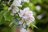 Apple blossom in spring, North Yorkshire, England, United Kingdom