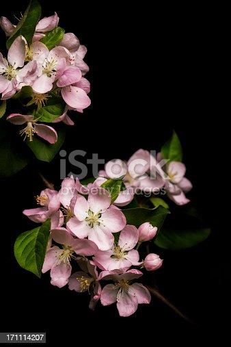 istock Apple blossom isolated on black background 171114207
