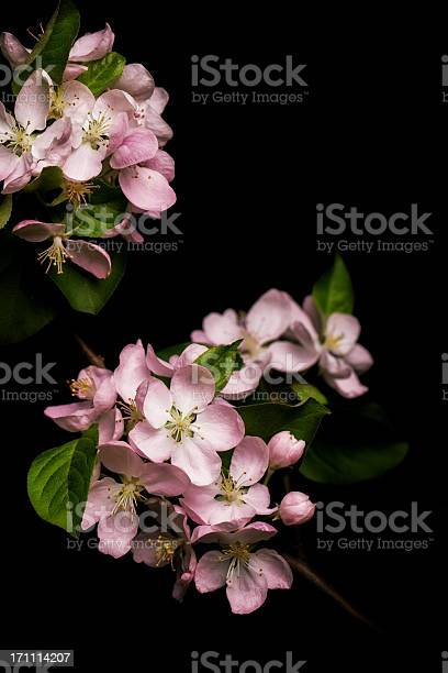 Apple blossom isolated on black background picture id171114207?b=1&k=6&m=171114207&s=612x612&h=of4hvp8cyi9hkgy11ncmi2xp0w ii t99p86sgjsv1s=