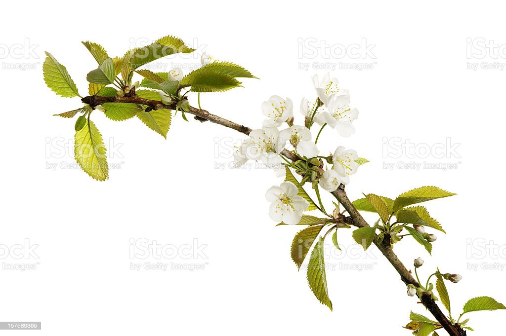 Apple Blossom Isolated On White royalty-free stock photo