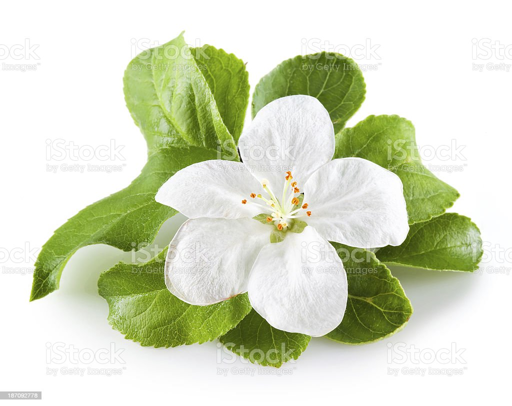apple blossom isolated on white stock photo