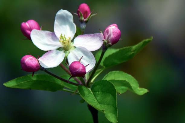 Apple Blossom Makro – Foto