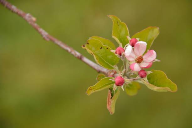 Manzano en flor - foto de stock