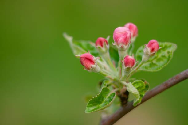 Apfelblüte – Foto
