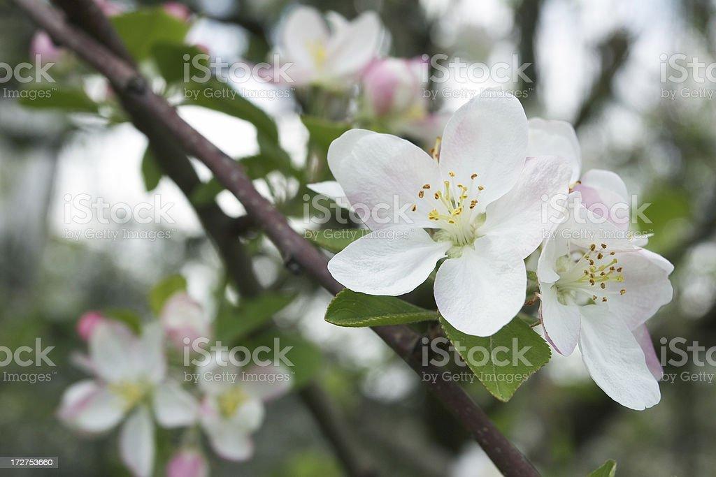 Apple blossom. royalty-free stock photo
