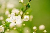 istock Apple blossom 174907373