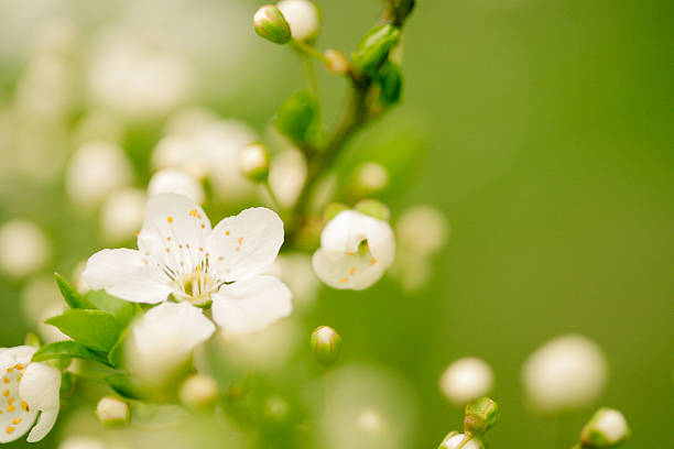 Apple blossom Apple blossom bud stock pictures, royalty-free photos & images