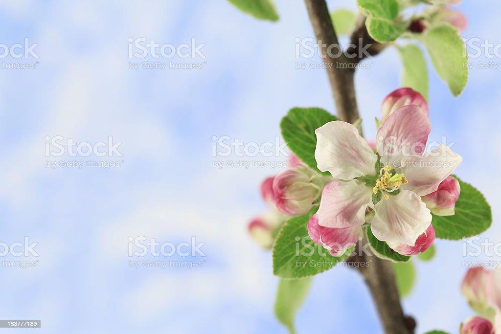 Apple Blossom stock photo