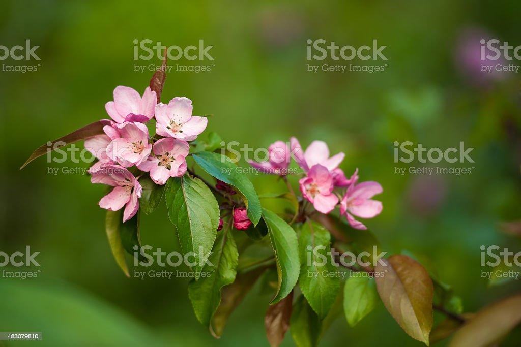 Flor de manzano - foto de stock