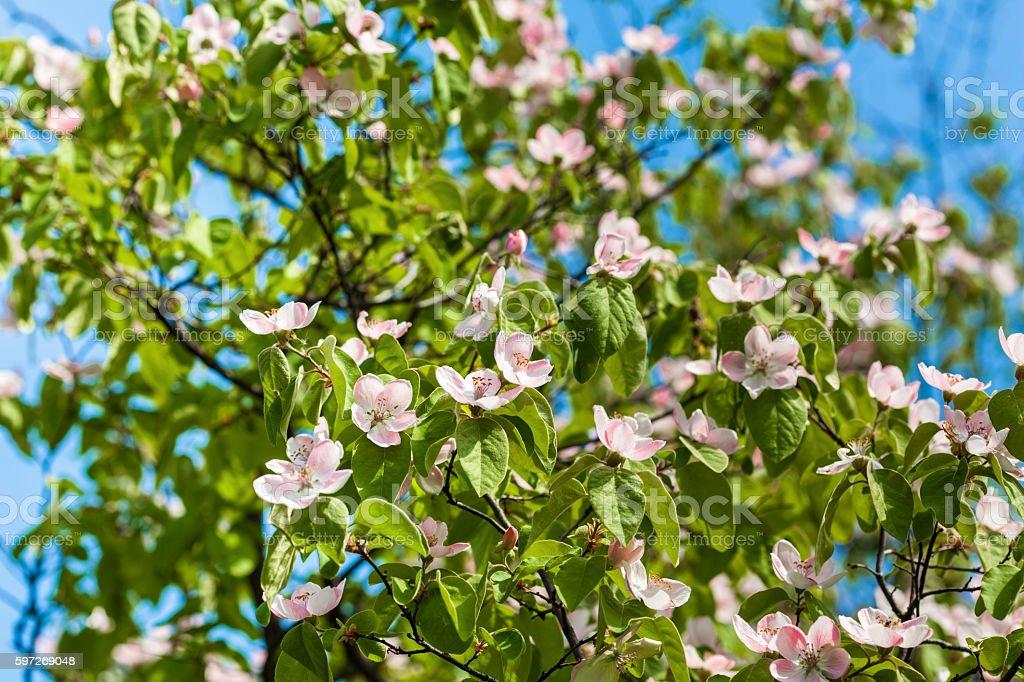 Apple blossom  Lizenzfreies stock-foto