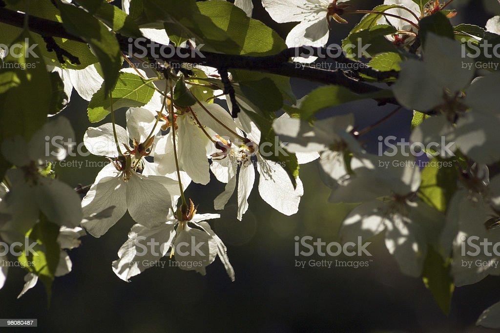 사과나무 꽃송이 royalty-free 스톡 사진