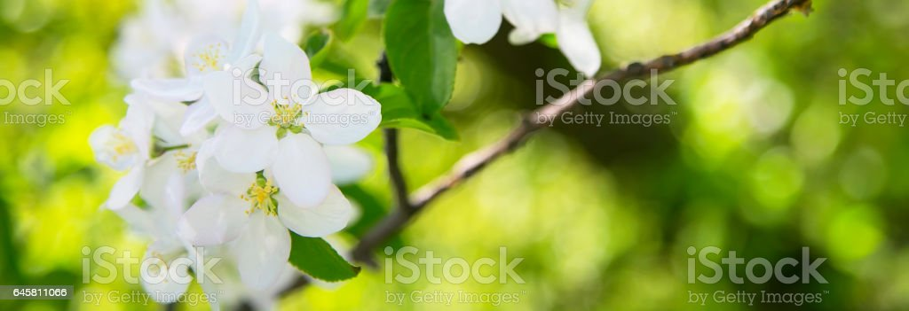 apple blossom spring flowers 스톡 사진