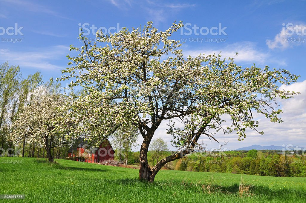 Apple blossom time stock photo