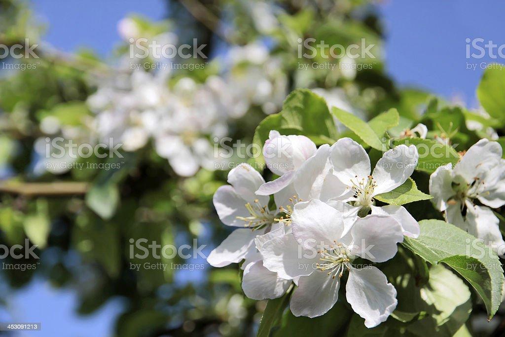 apple blossom tree royalty-free stock photo