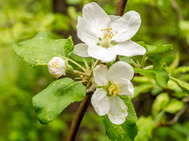 Apple blossoms and bud on blurred background stock photo