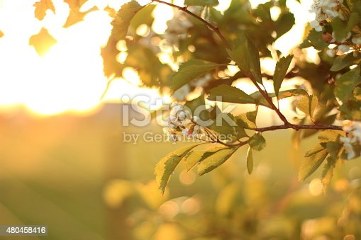 Apple tree flowers illuminated by the golden glow of the setting sun.