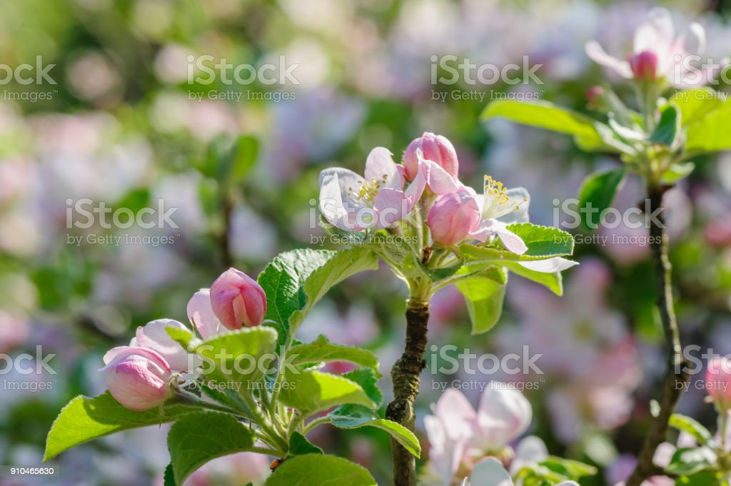 Apple blossoms closeup stock photo
