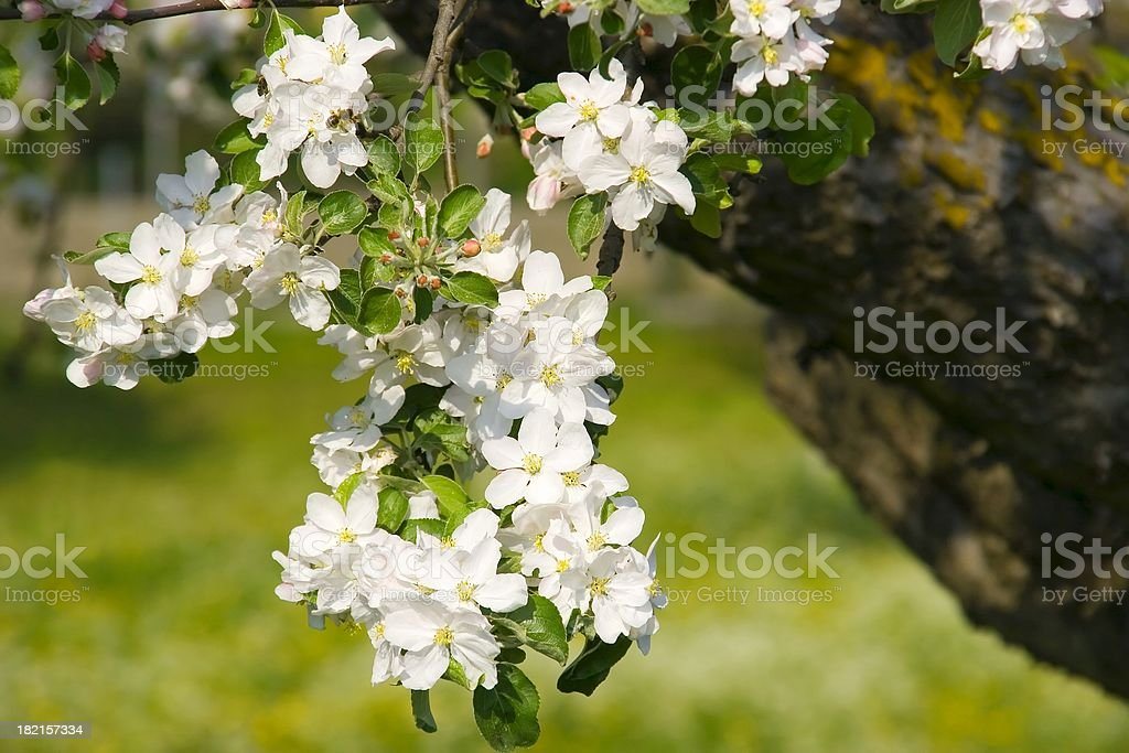 Apple blossoms II stock photo