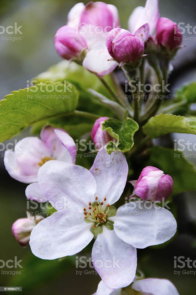 Apple blossoms in early spring royalty-free stock photo