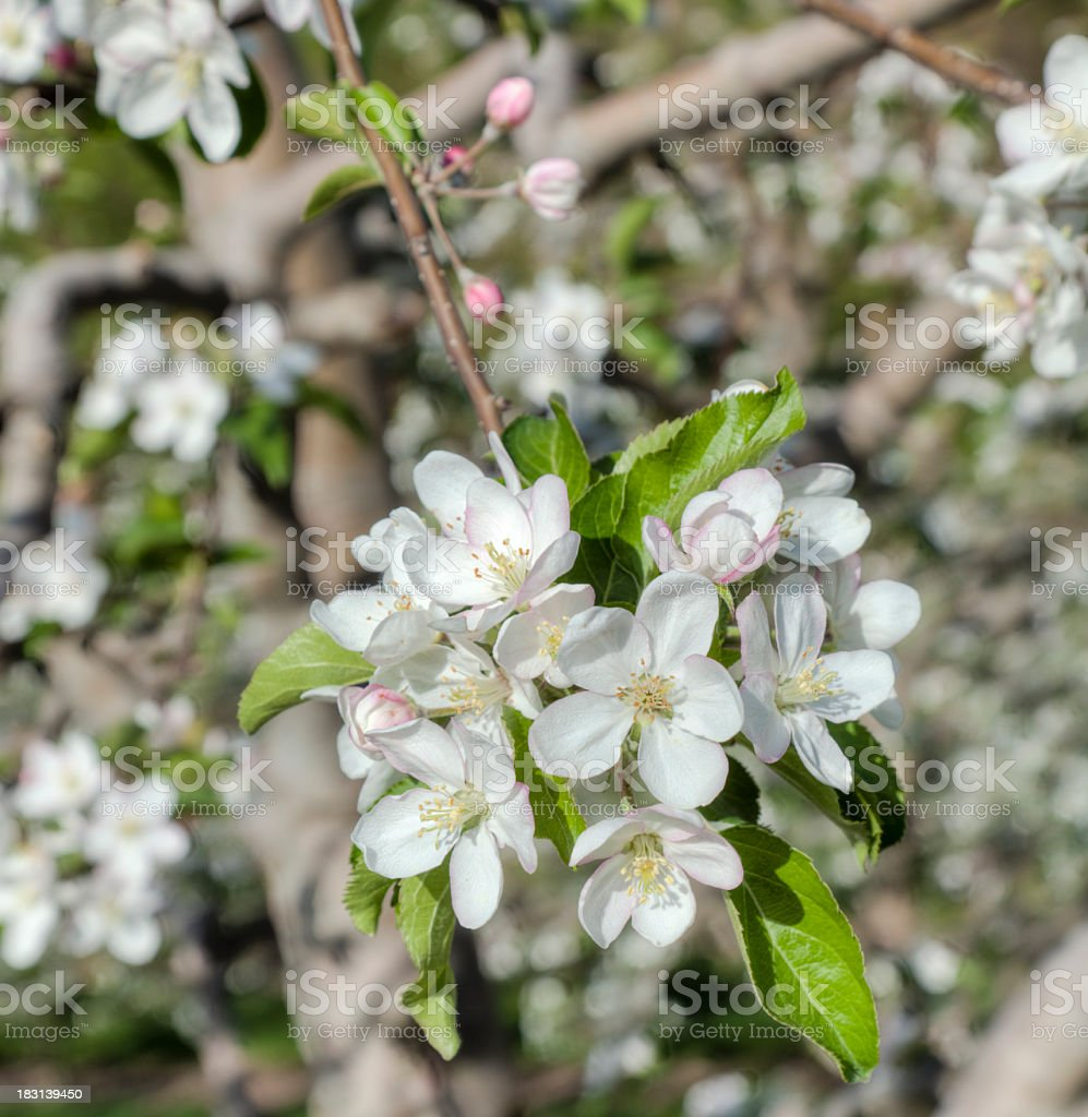 Apple Blossoms in Full Bloom - Close-up View stock photo