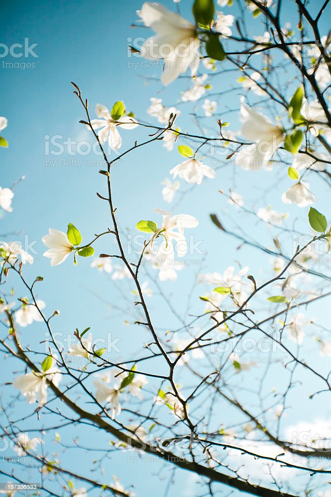 Apple blossoms in Hordaland County stock photo