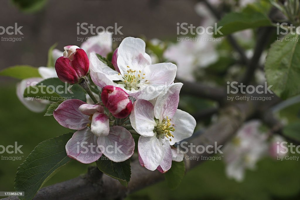 Apple blossoms in spring - Malus domestica royalty-free stock photo
