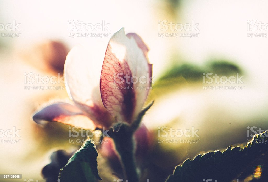 Apple blossoms in spring on an orchard stock photo
