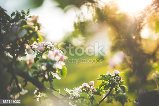 Apple blossoms in spring on an orchard aigainst sunlight