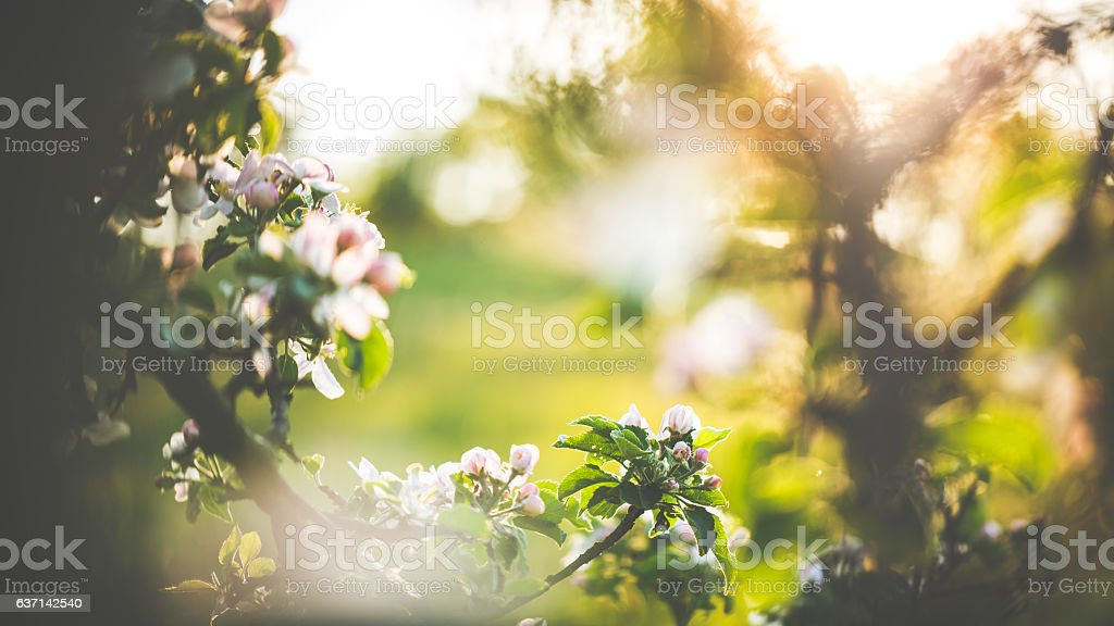 Apple blossoms in spring on an orchard 스톡 사진