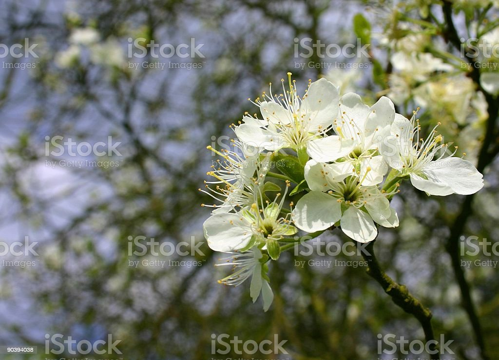 Apple blossoms in summer royalty-free stock photo