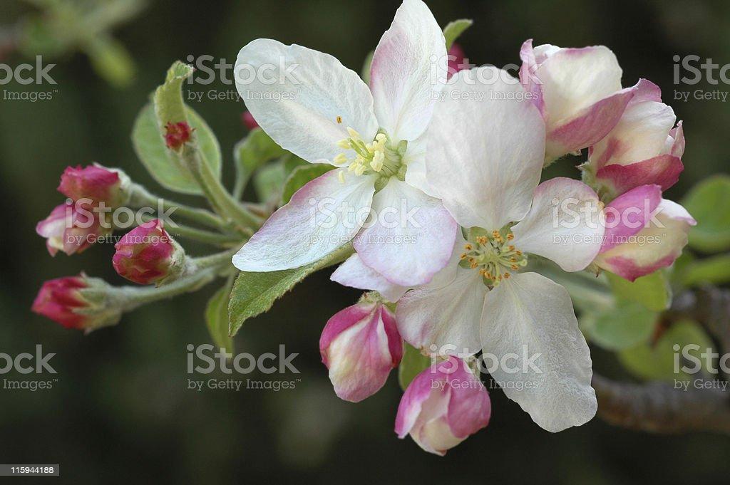 사과나무 잎과, Malus domestica 스톡 사진