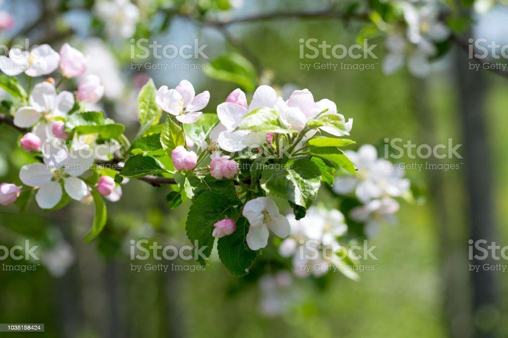 사과나무 잎과  스톡 사진